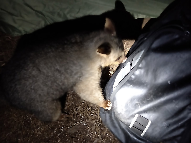 A possum at night trying to get into a backpack